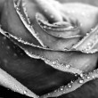 Monochrome wet rose close-up shot — Stock Photo