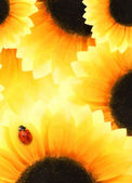 Ladybug sitting on a sunflower — Stock Photo