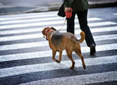 Man with a dog crossing the street — Stock fotografie