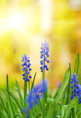 Beautiful blue flowers on a meadow — Stock Photo