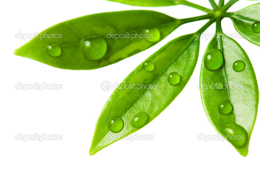 Water drops on fresh green leaves. Isolated on white background — ストック写真 #2085161