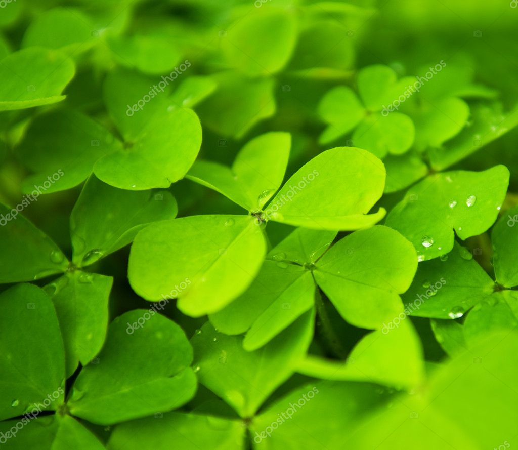 Clover field — Stock Photo #2085526