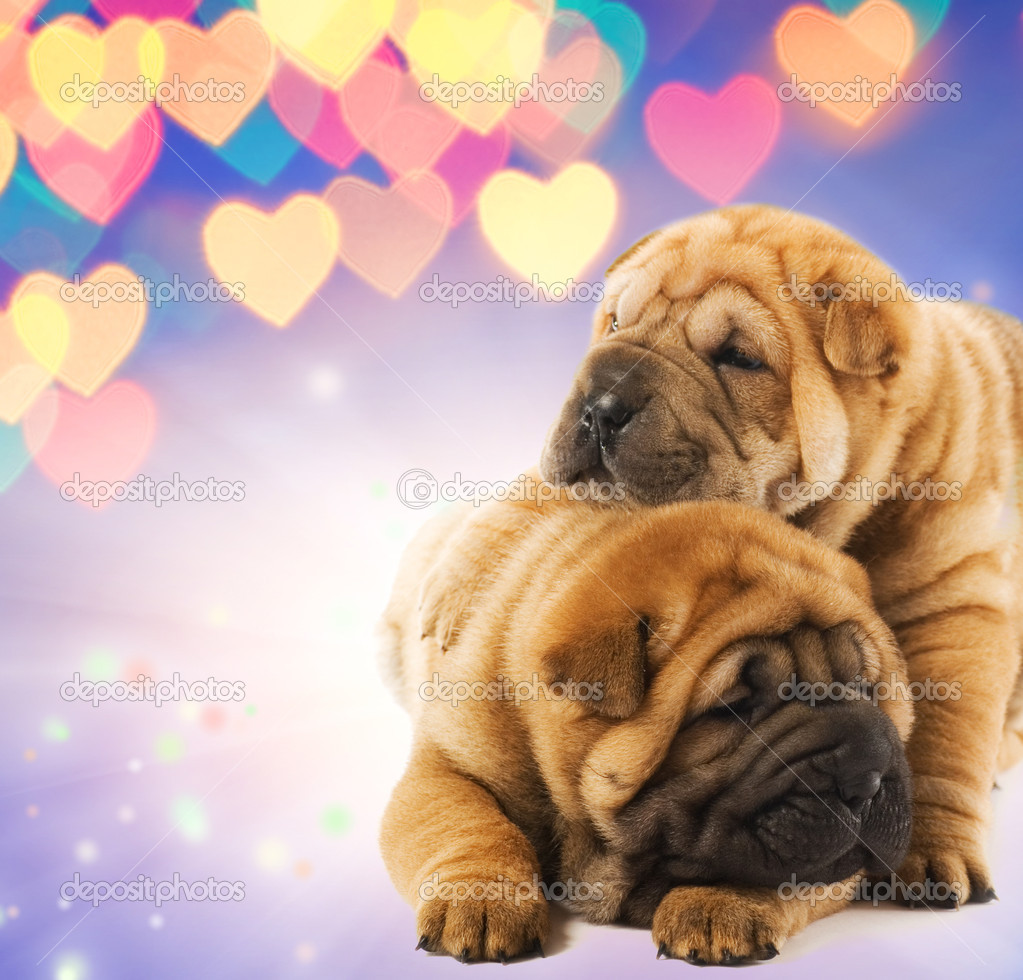 download shar pei puppies - photo #15