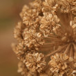 Dry autumn flower — Stock Photo