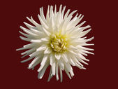 White aster on a brown background — Stock Photo