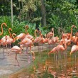 Flamingo paradise — Stock Photo #1867323