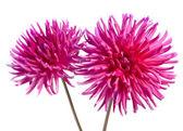 Neon pink dahlia — Stock Photo