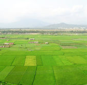 Green rice fields in sanya — Stock Photo