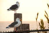 Seagull sentinels — Stock Photo