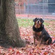 Alert dog in autumn leaves — Stock Photo