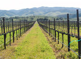 Rows of winter grape vines — Stock Photo