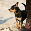 Toy terrier Near owner feet — Stock Photo