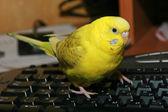Yellow budgie on black keyboard — Stock Photo