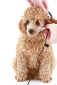 Apricot poodle puppy on white background — Stock Photo