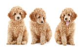 Three apricot poodle puppy — Stock Photo