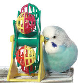 Blue budgerigar on a cage — Stock Photo