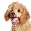 Apricot poodle puppy — Stock Photo