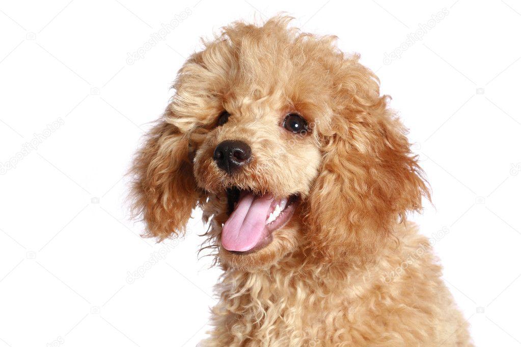 depositphotos_1572057-Apricot-poodle-pup