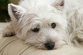 Perrito terrier blanco — Foto de Stock