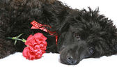 Black poodle with red carnation — Stock Photo
