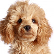 Close-up, apricot poodle puppy — Stock Photo