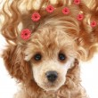 Apricot poodle puppy with long hair — Stock Photo #1679635