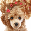 Apricot poodle puppy with long hair - Stock Photo