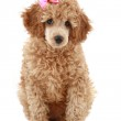 Poodle with pink bow — Stock Photo