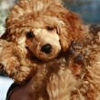 Stock Photo: Small apricot poodle