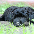 Stock Photo: Black poodle puppy