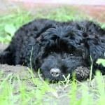 Black poodle puppy — Stock Photo