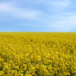 Rape field — Stock Photo #1742772