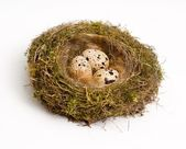 Nest with eggs — Stockfoto