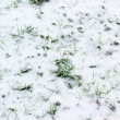 Small wheat plants covered with snow — Stock Photo