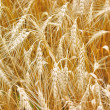 Golden wheat growing in a farm field - Stock Photo