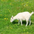 Young cute goat on green grass - Stock Photo