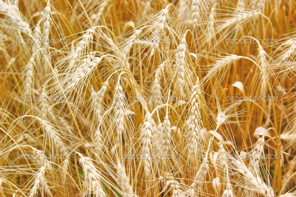 Golden wheat growing in a farm field   Stock Photo #1452972