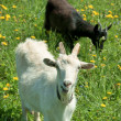 Two young goats grazing — Stock Photo