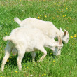 Stock Photo: Two young goats grazing