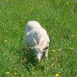 Stock Photo: Portrait of cute goat grazing