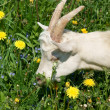 Stock Photo: Young cute goat on green grass