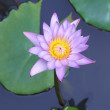 Royalty-Free Stock Photo: Lotus flower in the water
