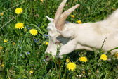 Young cute goat on green grass — Stock Photo