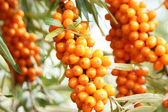 Sea-buckthorn branch — Stock Photo