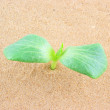 Green plant growing through sand — Stock Photo
