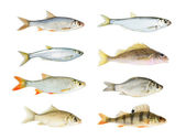 River fish collection isolated on white — Stock Photo