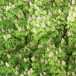 Blossoming of chestnut tree background — Stock Photo