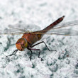 Dragonfly - Stock Photo