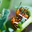 Colorado potato beetle - Stock Photo