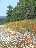 Roadside flowers in Canada — Stock Photo